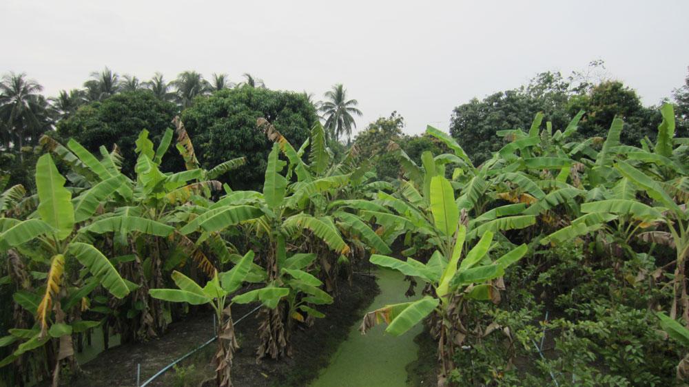 Mango,-banana,-and-coconut-plantations-in-Amphawa